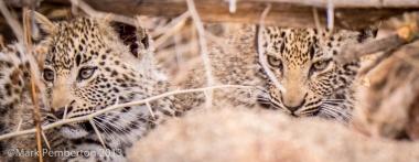 Leopard cubsLondolozi