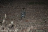 Leopard inside the camp after jumping the fence.