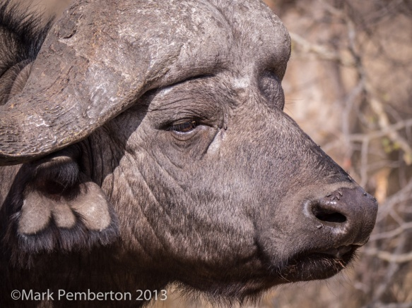Cape buffalo, King's Camp